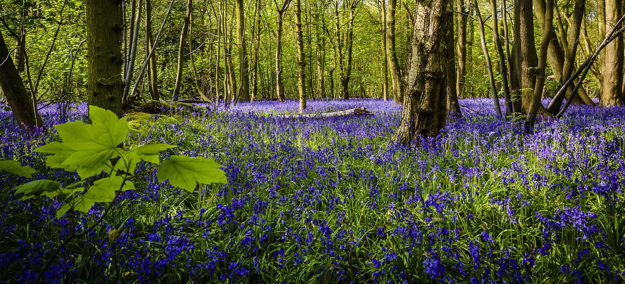 Woodland bluebells at Lower Wood, Norfolk