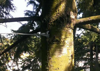 Cable Bracing. Professional tree care
